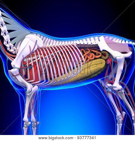 Horse Anatomy - Internal Anatomy Of Horse Close-up