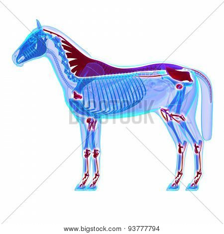 Horse Ligaments And Joints / Tendons - Horse Equus Anatomy - Isolated On White