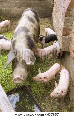 pigs at the farm at rural scene poster