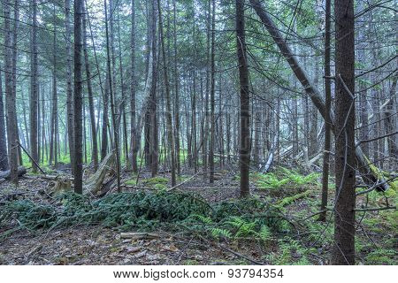 Dense Pine Forest Of Maine