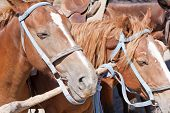 Close-up of horses heads on ranch at corral poster
