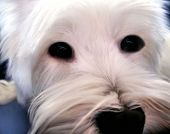 Close up of a cute white dog with big eyes poster
