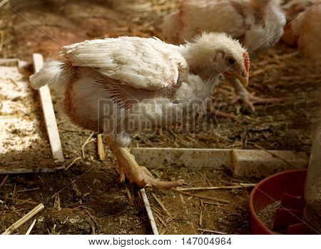 Young broiler chicken breeds with white feathers.
