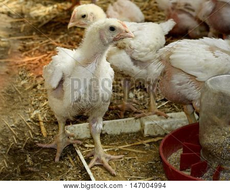 Some young immature broiler breeds of chickens with white feathers.