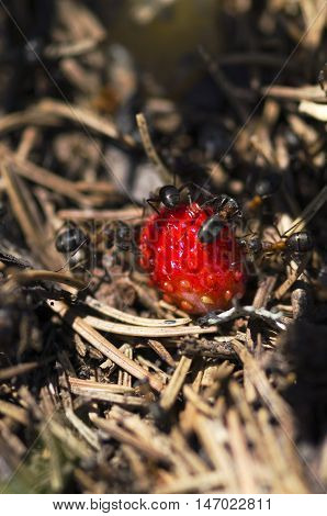 Ants and wild ripe strawberry. Selective focus