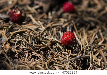 Three wild strawberries and some ants in an anthill
