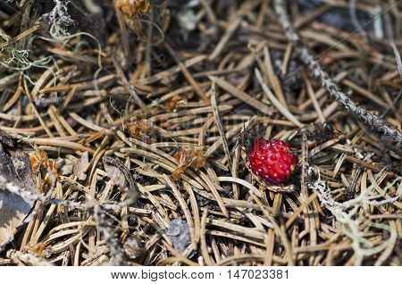 Two ants and wild strawberry in an anthill