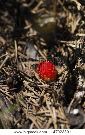 Wild strawberry among pine needles and ants in anthill
