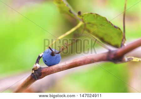 Selective focus on a Merlot grape on a vine