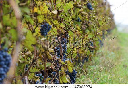Merlot row in a vineyard. Harvesting time. Ripe clusters