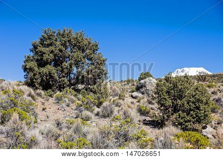 Quenoa Forest On Natural Park Of Sajama, Bolivia.