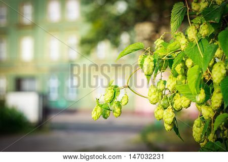 Background green bush of cones and leaves hops on second plan facade tenement house.