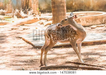 Cute spotter fallow deer try to scratching its skin.