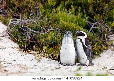 African penguins colony at Boulders beach near Cape Town in South Africa