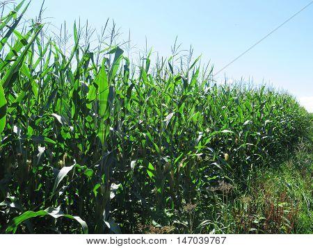 Rows of sweetcorn in field in Southern Denmark