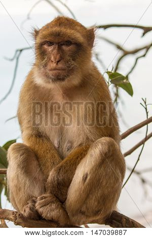 Barbary Macaque of gibraltar. monkey belonging to the Cercopithecidae