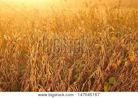 Field of soybean in warm early morning light
