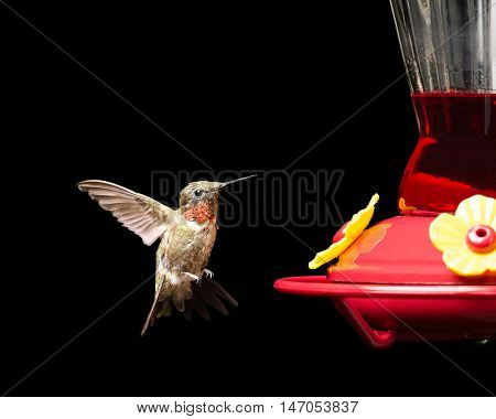 Male ruby-throated hummingbird flying near a red feeder. Vivid colors isolated on black. Close up image with significant detail.