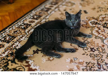 Black cat lies on the carpet with eastern-style patterns at home and resting, looking to camera.