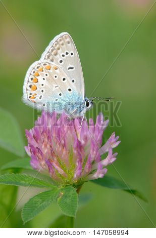 Common Blue (Polyomathus icarus) butterfly, close up