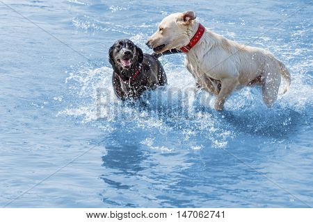 Labrador dogs enjoying shallow water running and playing