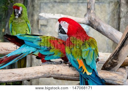 Green winged macaw sitting on a branch