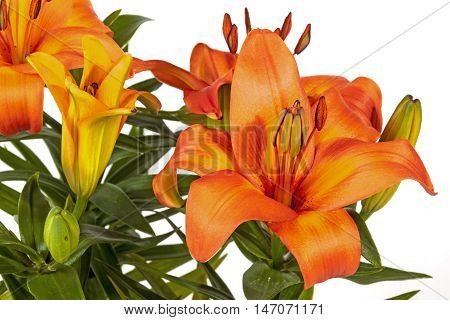 Vivid Orange Asian Lilies And Buds On Green Stems