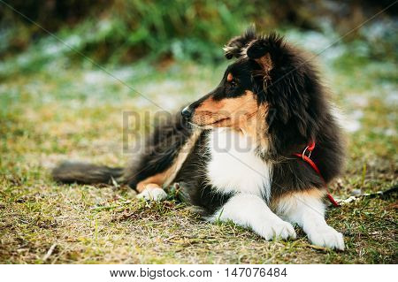 Young Shetland Sheepdog, Sheltie, Collie Puppy Outdoors