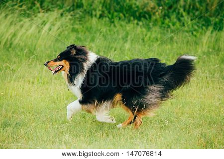 Shetland Sheepdog, Sheltie, Collie. Play Run Outdoor In Summer Grass At Evening
