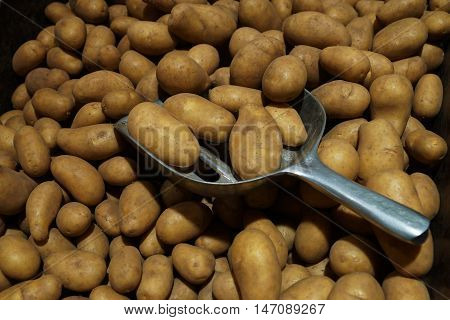 Potatoes in a large crate with a metal scoop