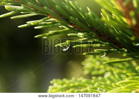 A young light green fir branch with raindrops on the needles close up. Young shoots of spruce trees after rain