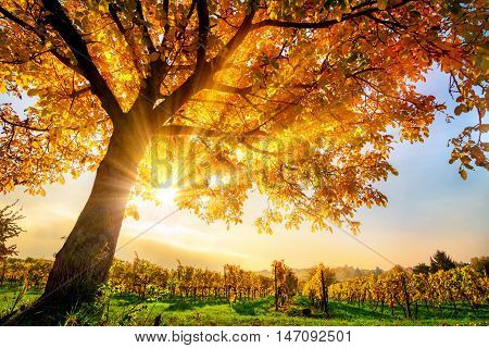 Gold tree on a vineyard with blue sky and the autumn sun shining warmly through its leaves
