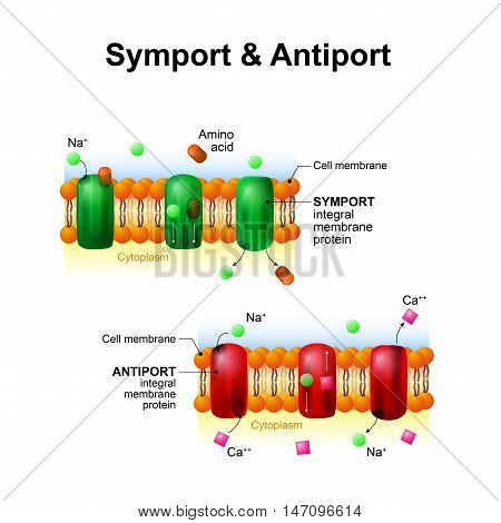 Symport and antiport - are an integral membrane protein. cell membrane transport system. How it works