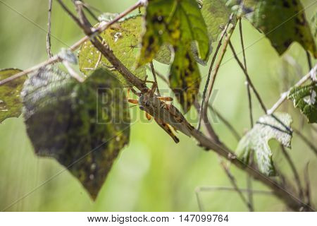 A grasshopper rests on the stem of wild grapes.