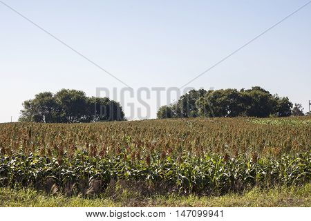 A growing field of sorghum with trees in the background.