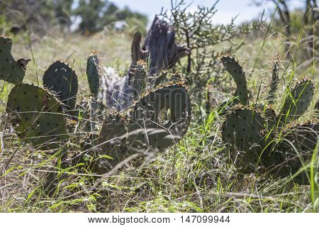 Prickly pear cactus with fruit and deadwood in a dry field.