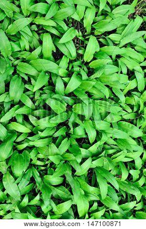 Ramson or wild garlic, lat. allium ursinum, natural vertical background