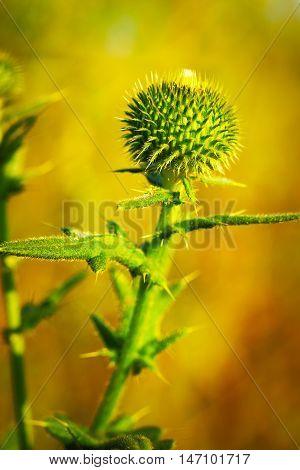 Musk Thistle or Nodding Thistle flower, Carduus nutans, close up