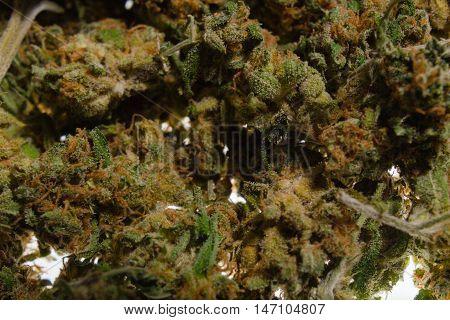 Dried flower buds of flowering cannabis marijuana plant