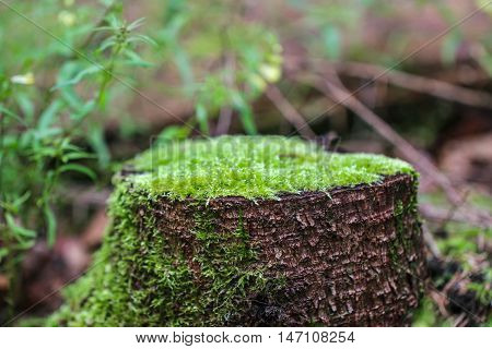 Rotting tree trunk. The old stump, covered with moss in a forest.