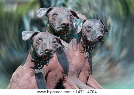 Xoloitzcuintle the Mexican Hairless Dog or Xolo