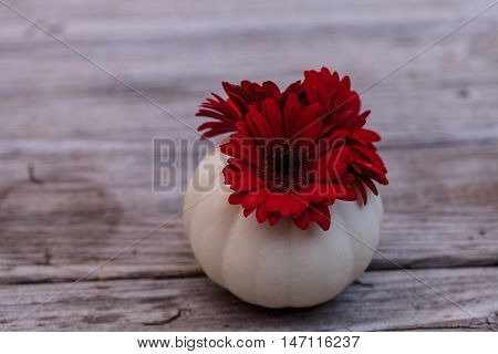Red gerbera daisy in a carved white Casper pumpkin on a rustic wood table at the holidays.