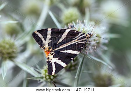 Jersey Tiger (euplagia Quadripunctaria) On Field Eryngo