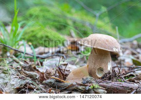Summer Cep (boletus Reticulatus) An Oak Forest