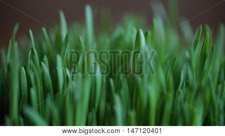 close up of wheatgrass shot green grass