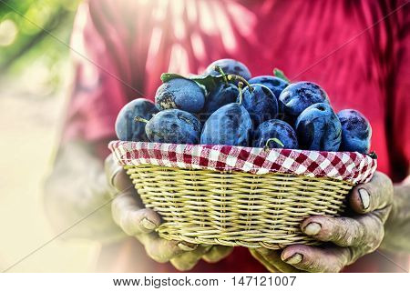 Plums. Blue and violet plums in the garden on wooden table.Farmer holding a basket full of fresh plums.