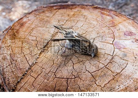 Photo of dead sparrow bird on stump