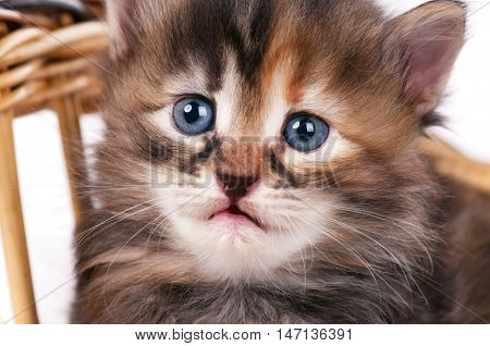 Portrait of cute siberian kitten with sad eyes over white background close-up