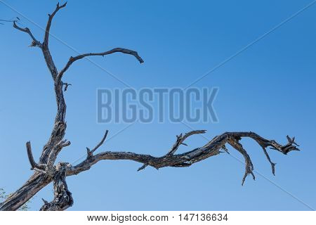 Dead wood dry branch interesting lines against clear blue sky gradient