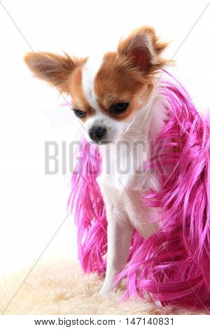 Chihuahua Is Resting In Fashion Model